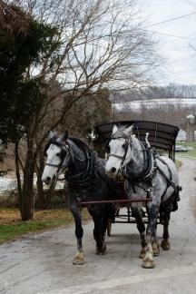 Horses returning